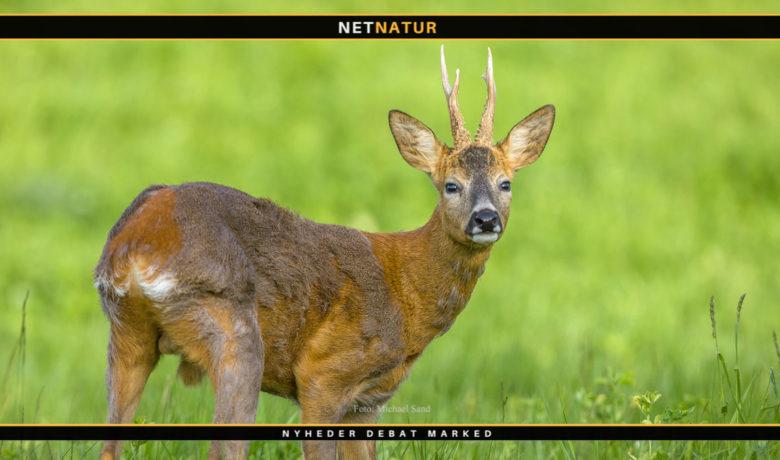 Jagt udlejes på Ravnsholte Skov