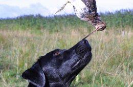 Jagthundens træning: Jagthunden på bekkasinjagt