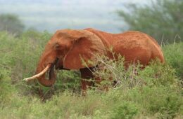 Elefant maser storvildtjæger til døde
