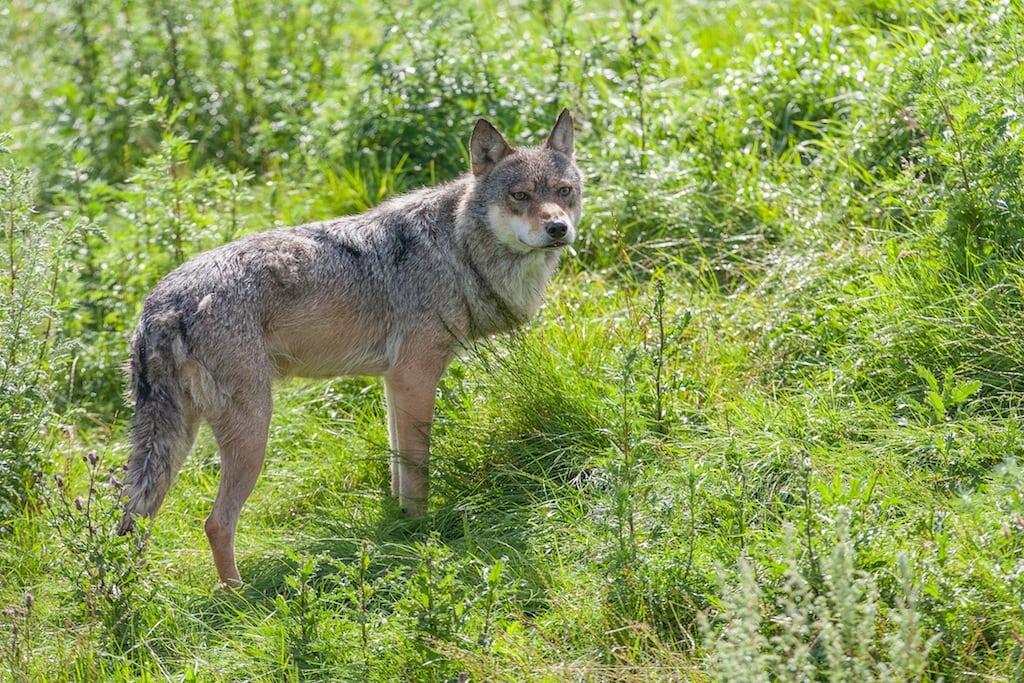 WWF begejstret over danske ulve