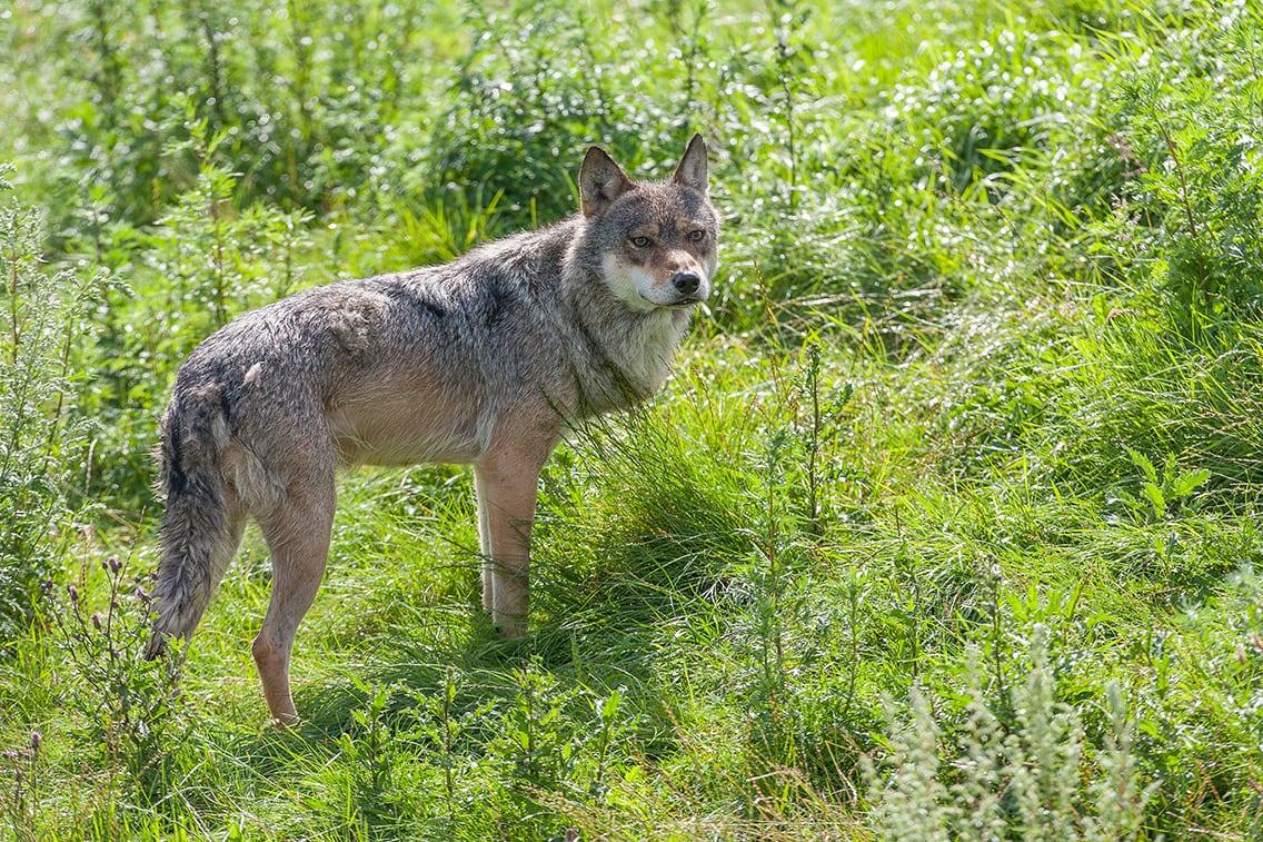 DNA afslører ulveangreb