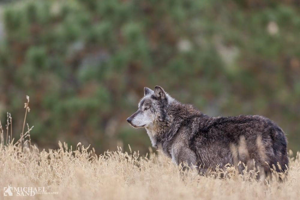 "De danske ulve er ""rigtige"" ulve"