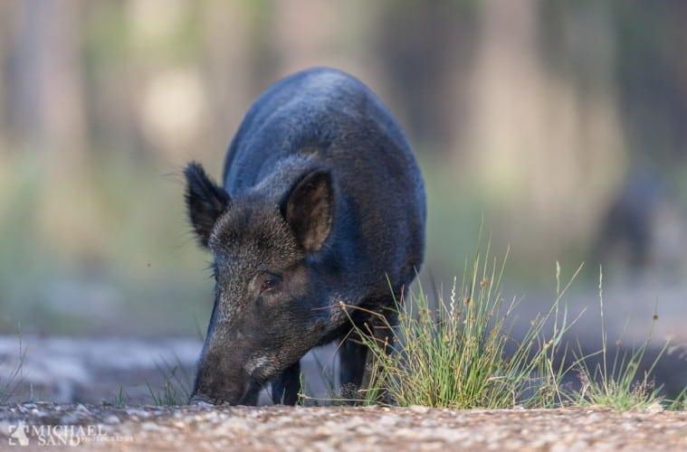 Flere vildsvin end elge nedlægges