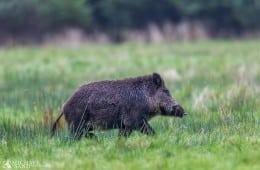Tyskland: Trikiner konstateret i vildsvin