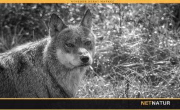 Ulven ved Skagen opleves ikke som farlig