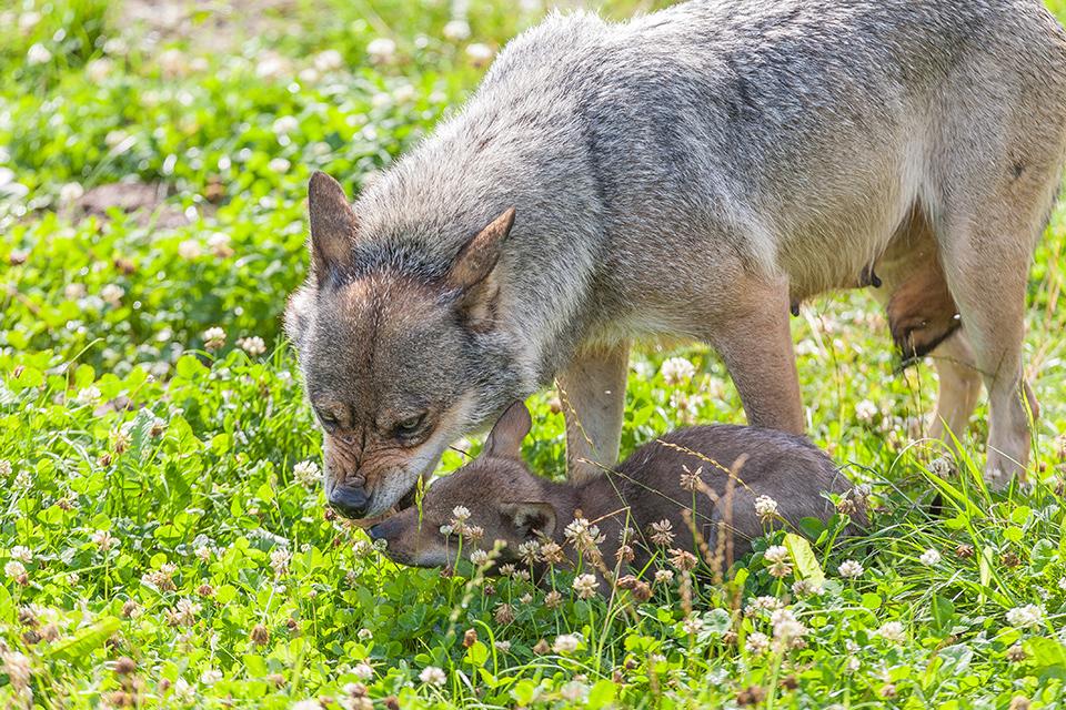 Svenske ulve-hybrider er en myte