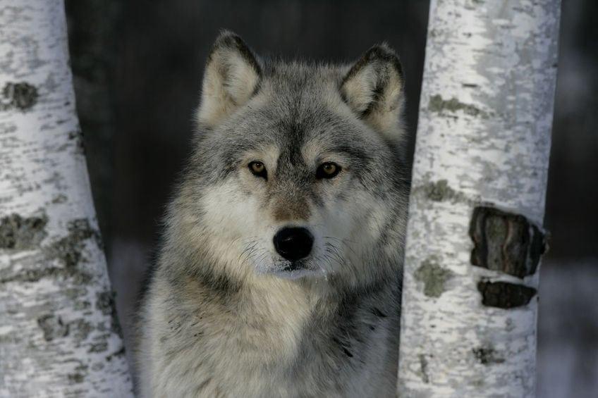 Fem får formodes dræbt af ulv