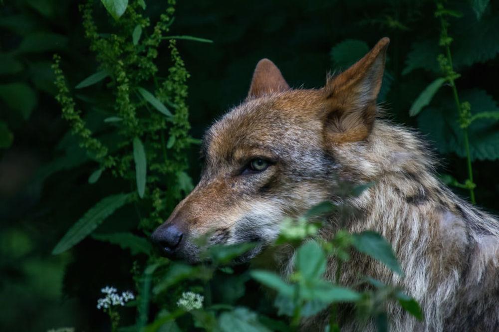 Debat om ulvedebat