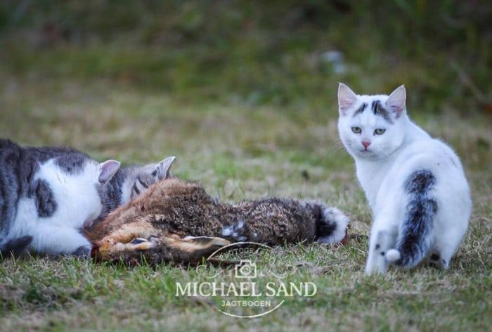 Australien erklærer de vilde katte krig - Netnatur