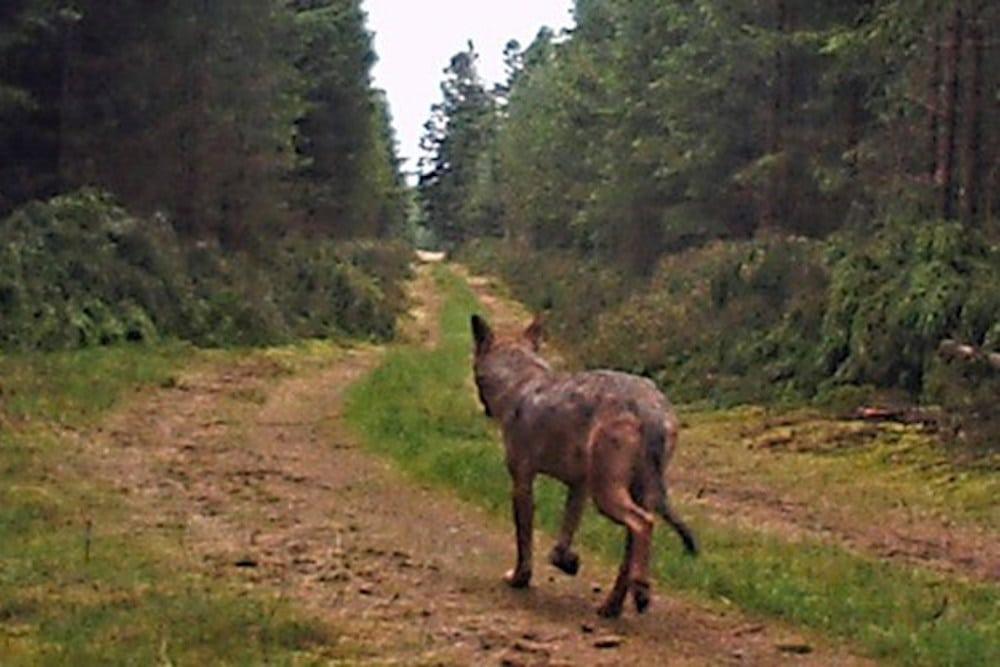 Ingen ulveskove på vej