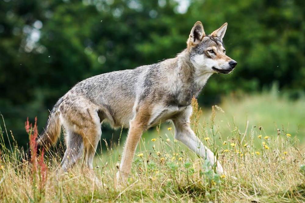Danske forskere uenige om antallet af ulve