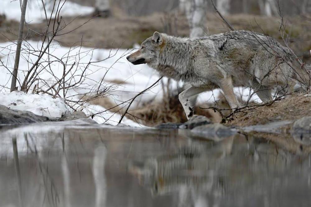 Finsk ulveekspert lokket i en fælde
