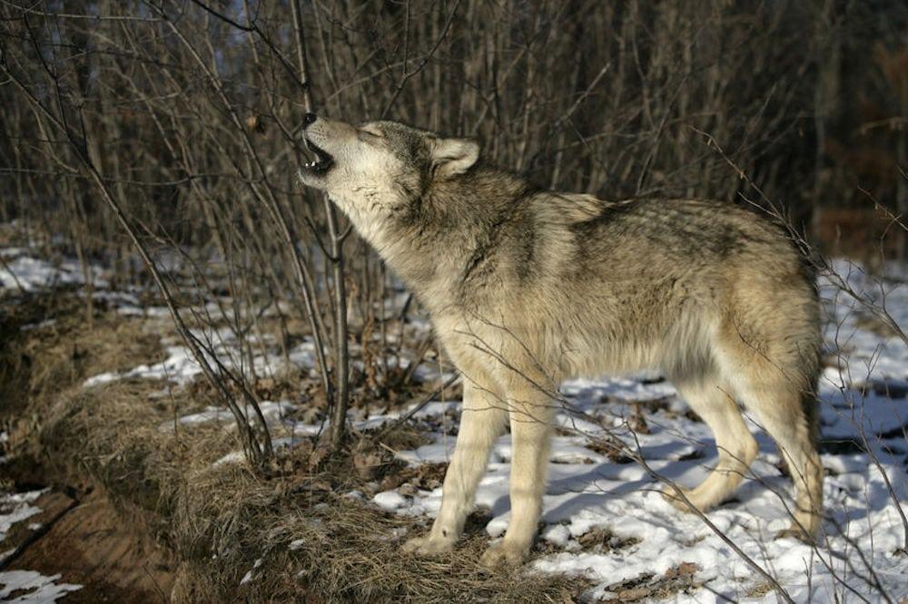 Undersøgelse: Flertal for ulv i Danmark