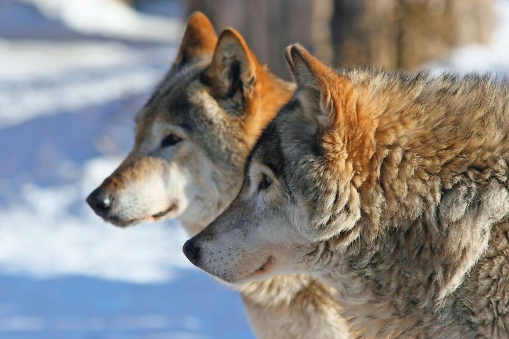Meget tyder nu på ulvepar i Danmark
