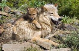 Nyfødte ulvehvalpe videofilmet i Norge
