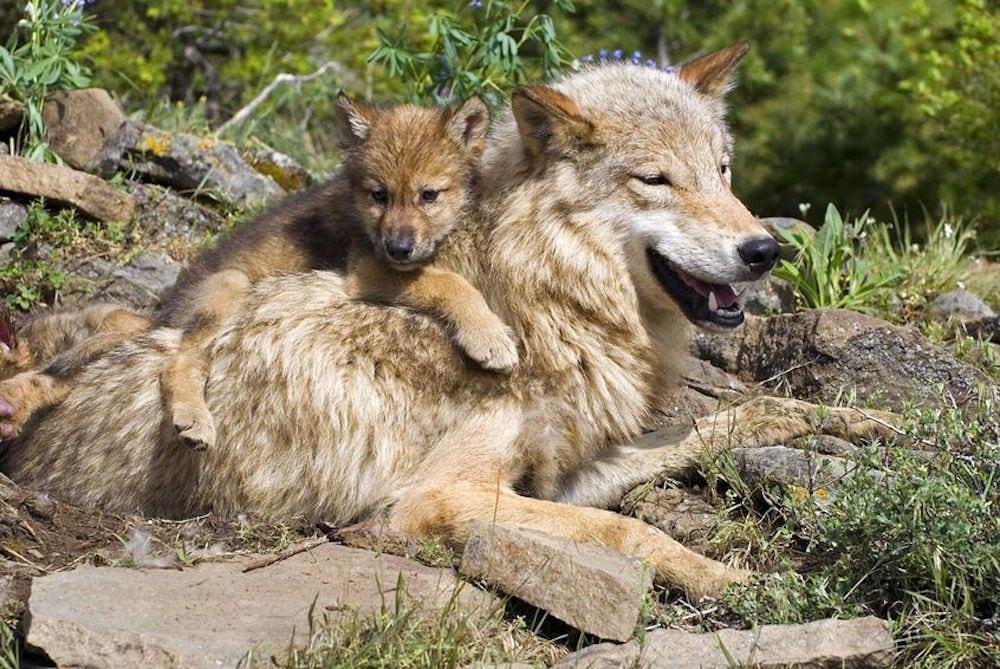 Ulveunger i Danmark: Antal opjusteret