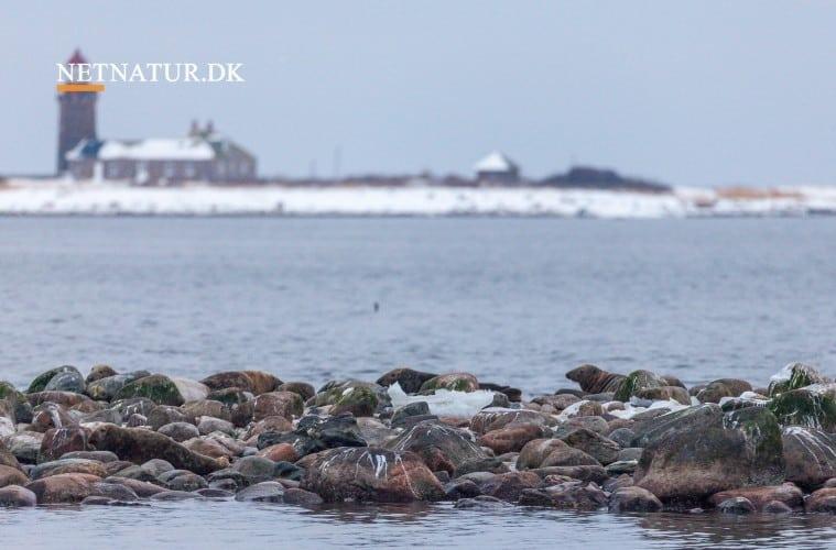 Miljø- og fødevareministeren har smidt granitsten i Limfjorden, og dermed er opbygningen af stenrevet ved Livø for alvor gået i gang.