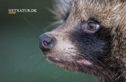Minister vil forbyde salg af 18 invasive arter