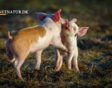 Dyrenes Beskyttelse indgår aftale med svineproducenter og slagterier