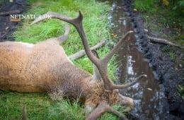Kronvildt bag hegn dræbt i nyoprettet ulvezone