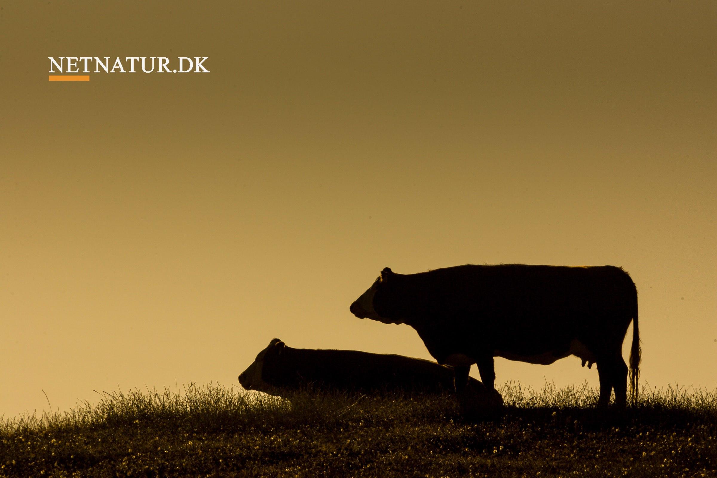 Hjortedrab øger frygt for ulven hos mælkeproducenter