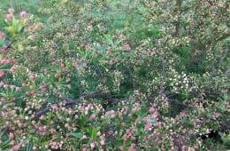 Kend dine vildtplanter: Sargents æble
