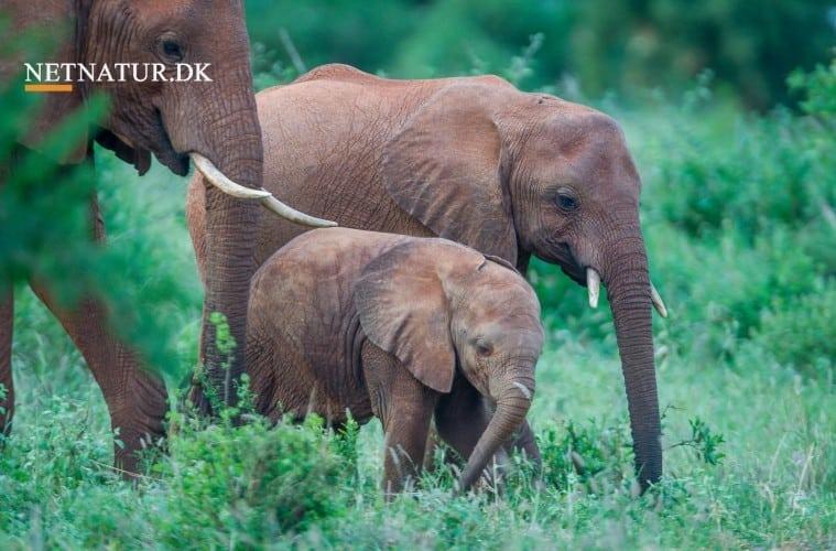 DCE: Ikke utopi med elefanter og næsehorn i dansk natur