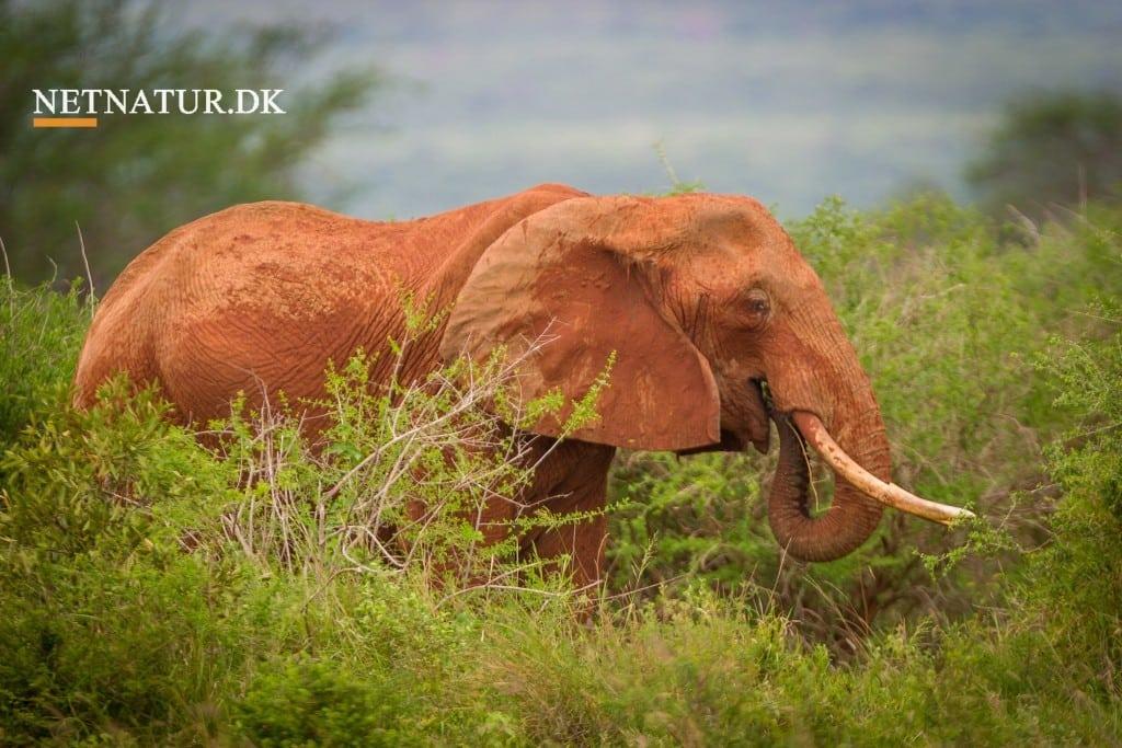 DCE: Ikke utopi med elefanter og næsehorn i Danmark
