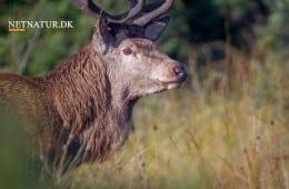 Bogudgivelse: Pattedyr i Norden
