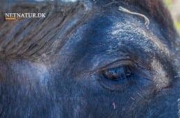 Australien: Jagt- og skudsituationer på stribe