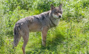 Viden om ulvens stressfaktor mangler