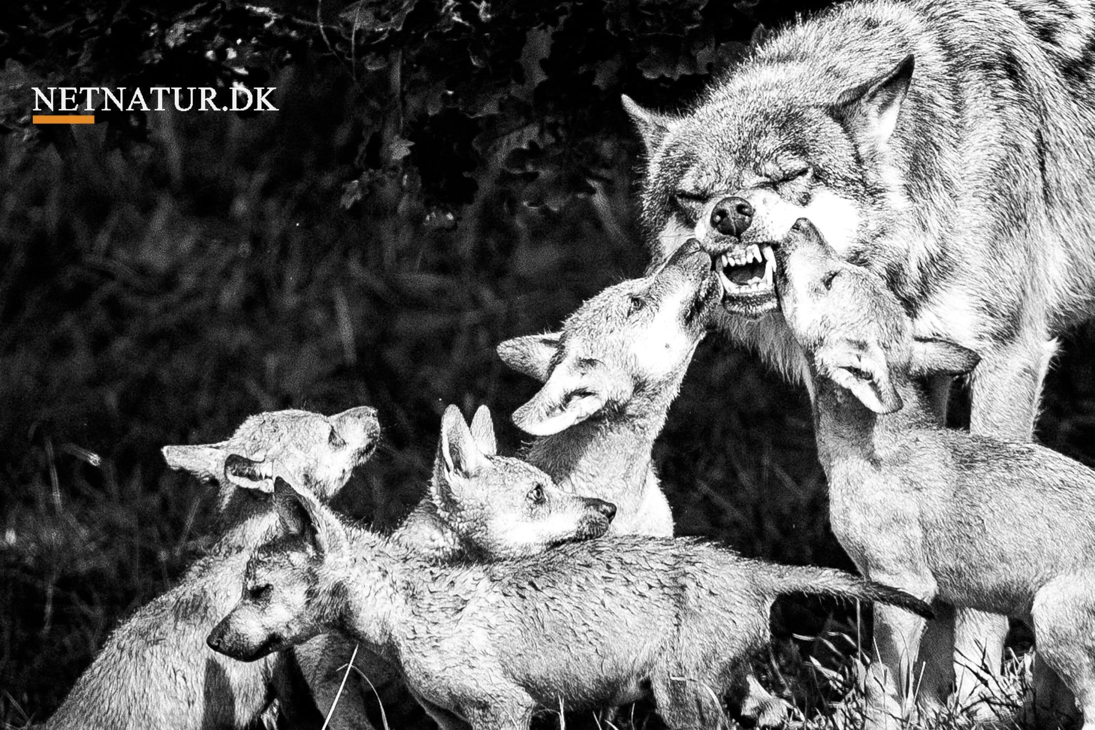 Folketingets ønske om at regulere ulvebestanden kan være ulovlig