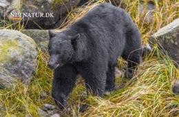 16-årig løber dræbt af bjørn