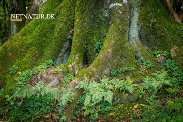 Statsskovene har kortlagt værdifuld skovnatur