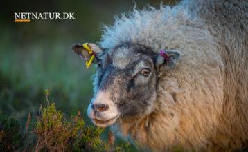 Naturstyrelsen undersøger hegn efter angreb på får