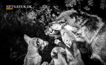 Orla Østerby: Overvej regulering af ulve