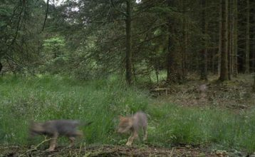 Ulveunger i Danmark