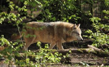 Undersøgelse: Danskerne er ikke bange for ulven