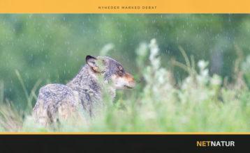 Muldyr skal beskytte husdyr mod ulve