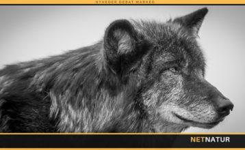 Sorte ulve opdaget i nyt svensk ulveområde
