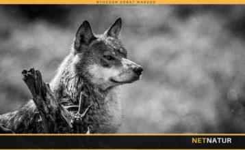 Har Skagen By haft besøg af ulv?