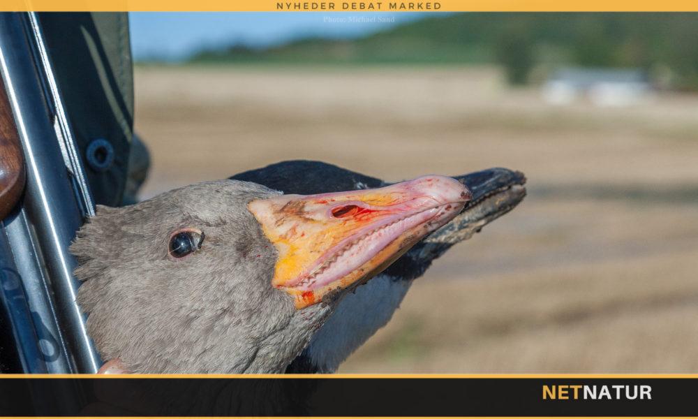 Sølvmåger og grågæs skal bekæmpes med nye jagttider