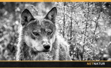 Online foredrag om ulv i Danmark