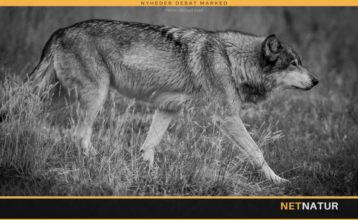 Esben Lunde Larsen vil arbejde for balance i EU's ulvepolitik