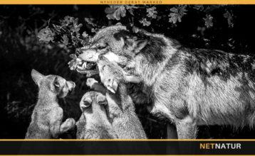 Var den dræbte ulv mor til hvalpene ved Ulfborg ?