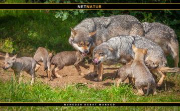 Ulven – naturromantikernes kæledægge