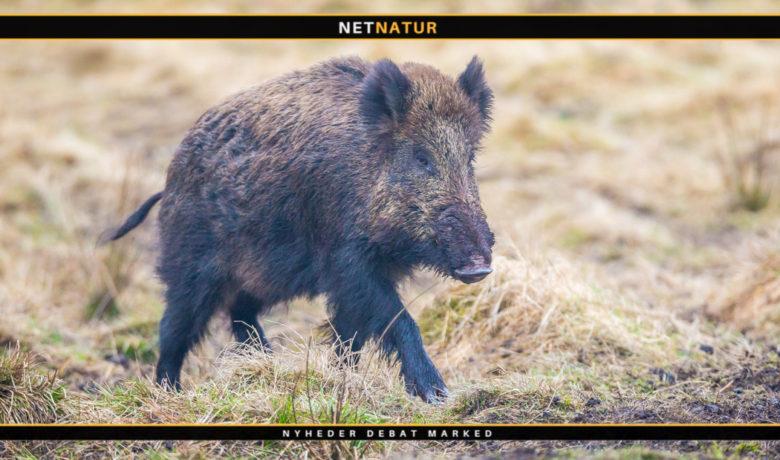 Er danske vildsvin tæt på udryddelse?